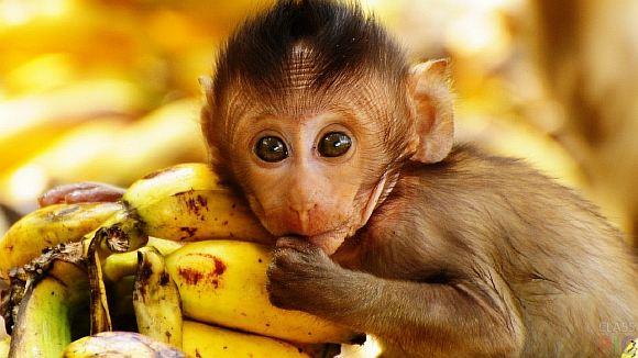 обезьяна с бананами в картинках ним изумительно вкусные