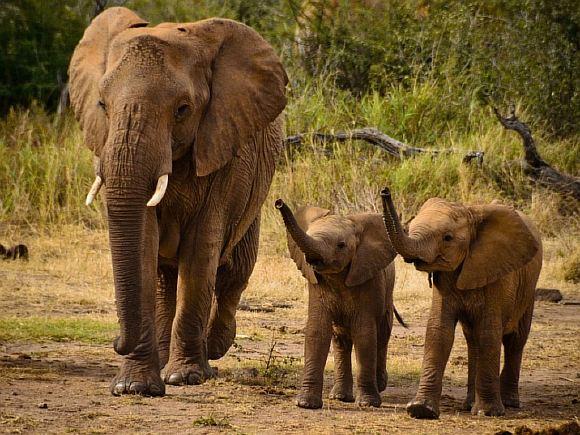 2 слона картинка